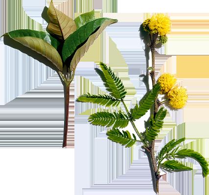 Haronga und Akazien-Blüte