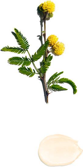 Akazien-Blüte