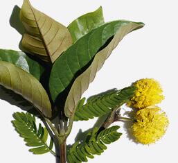 Bio-Haronga und Kassienblüte