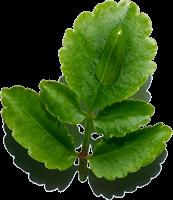 Inhaltsstoff Goethe-Pflanze