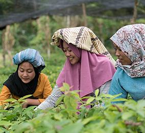 Junge Frauen auf den Reisfeldern