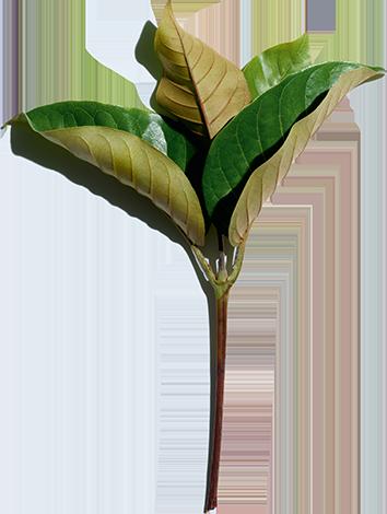 Aktivstoff Haronga - Pflegelinie Nutri-Lumière